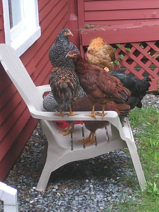 Chickensonchiars