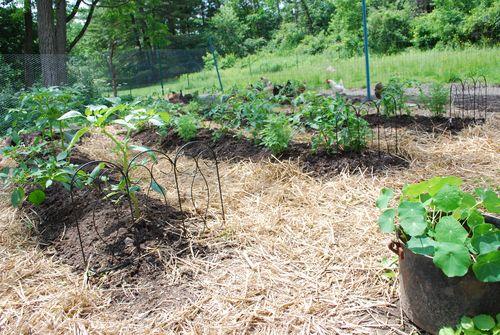 Tomato garden 6.15